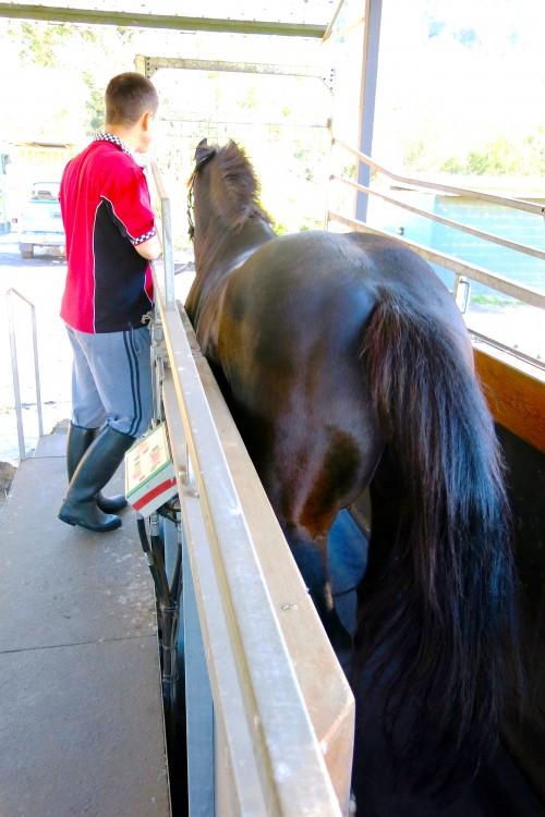 Muskoka Farm horse training treadmill.